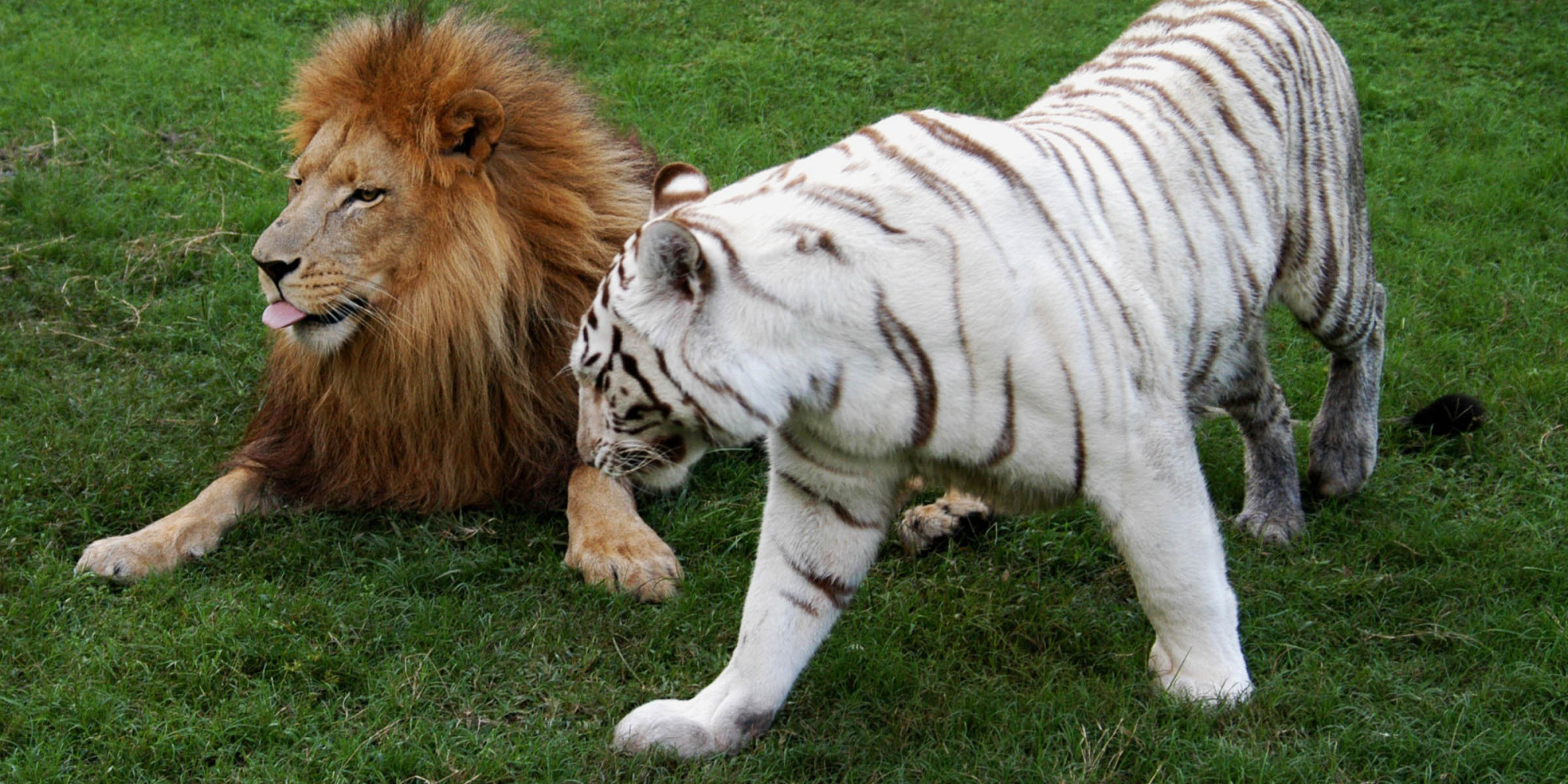 animal hybrids animals species mate exist different liger believe strangest tiger won really interspecies happens huffpost advertisement