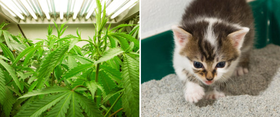 KITTY LITTER MARIJUANA
