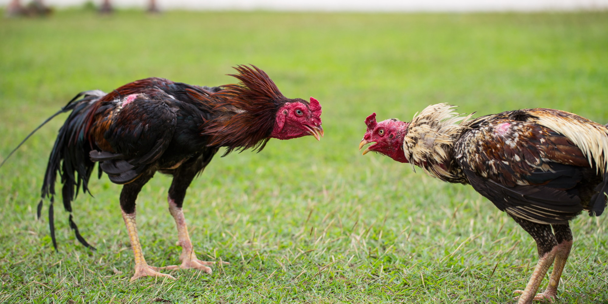 Image result for cock fighting