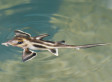 Why Do Sharks Have No Bones? Elephant Shark Genome Yields Answer (VIDEO)