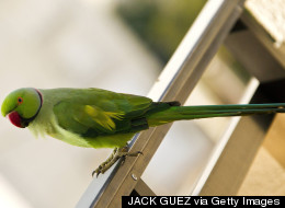 Parakeet Squeals On Drunken Driving Suspect: 'He's Drunk'
