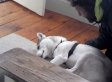 Husky Just Says No To Kennel Trip (VIDEO)