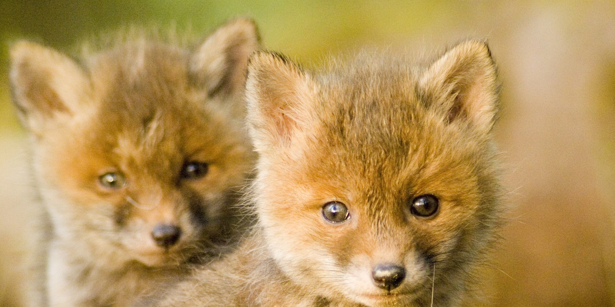 Foxes in the Barn - There's Nothing Natural About This ...  Foxes in the Ba...