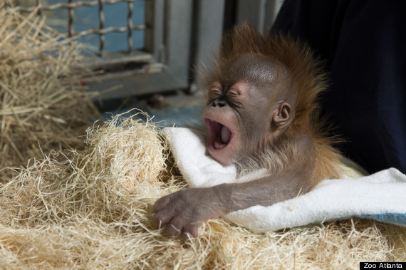 bongo yawn