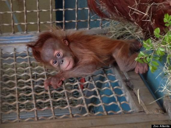 pongo cage