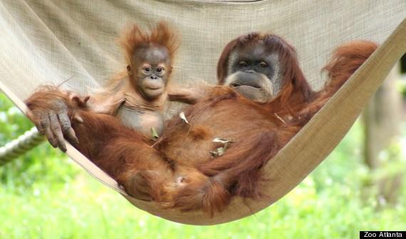 pongo hammock