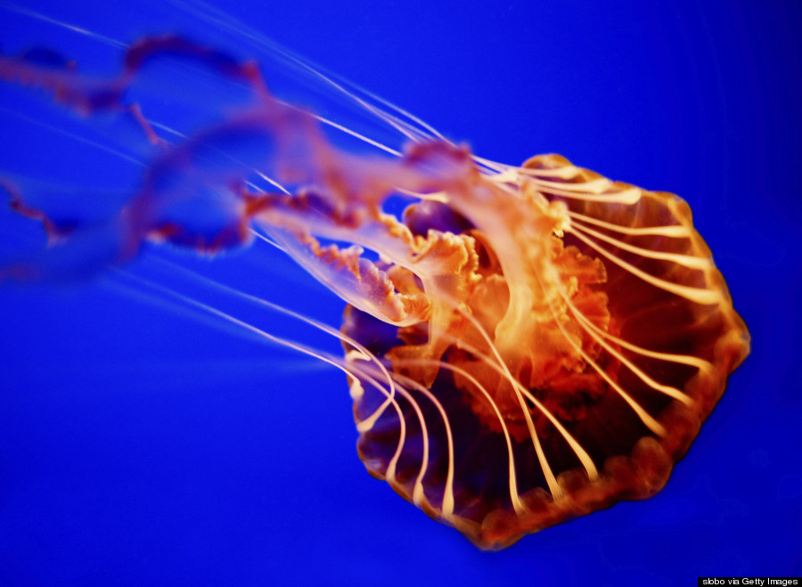 11 Jellyfish Facts That Are Just As Mesmerizing As The Creatures ...