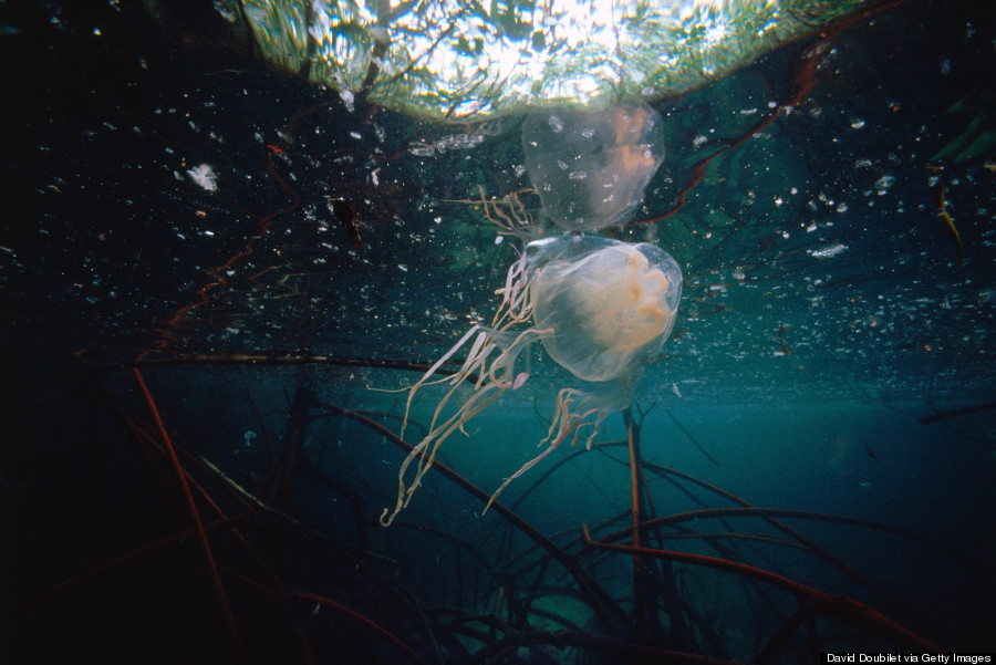 box jellyfish & 11 Jellyfish Facts That Are Just As Mesmerizing As The Creatures ... Aboutintivar.Com