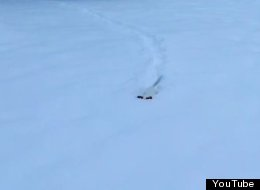 WATCH: Deep Snow Is No Match For Tiny Terrier