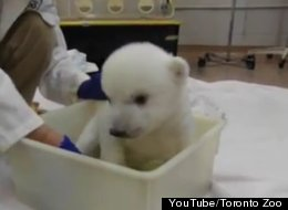 WATCH: There Comes A Time For Every Polar Bear Cub To Take A Bath