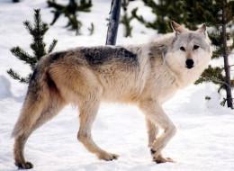 canadian grey wolf transplant