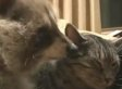 Raccoon Smothers Cat With Love And Affection (VIDEO)