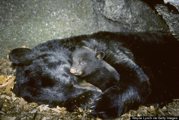 bear hibernating