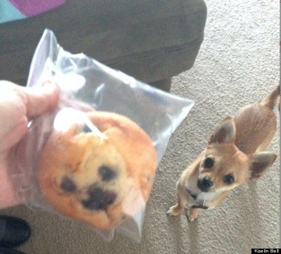 chihuahua blueberry muffin