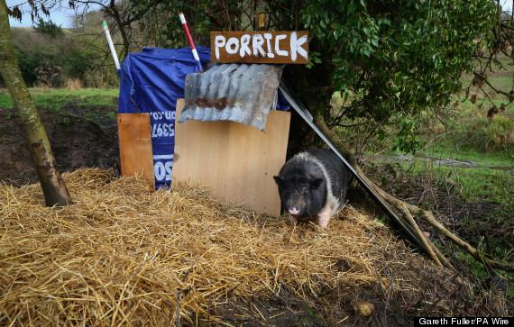 porrick the pig