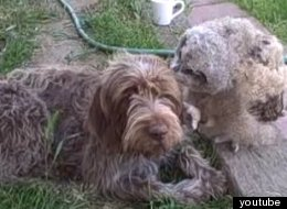 WATCH: Gentle Owl Desperately Wants To Be Friends With Shaggy Dog