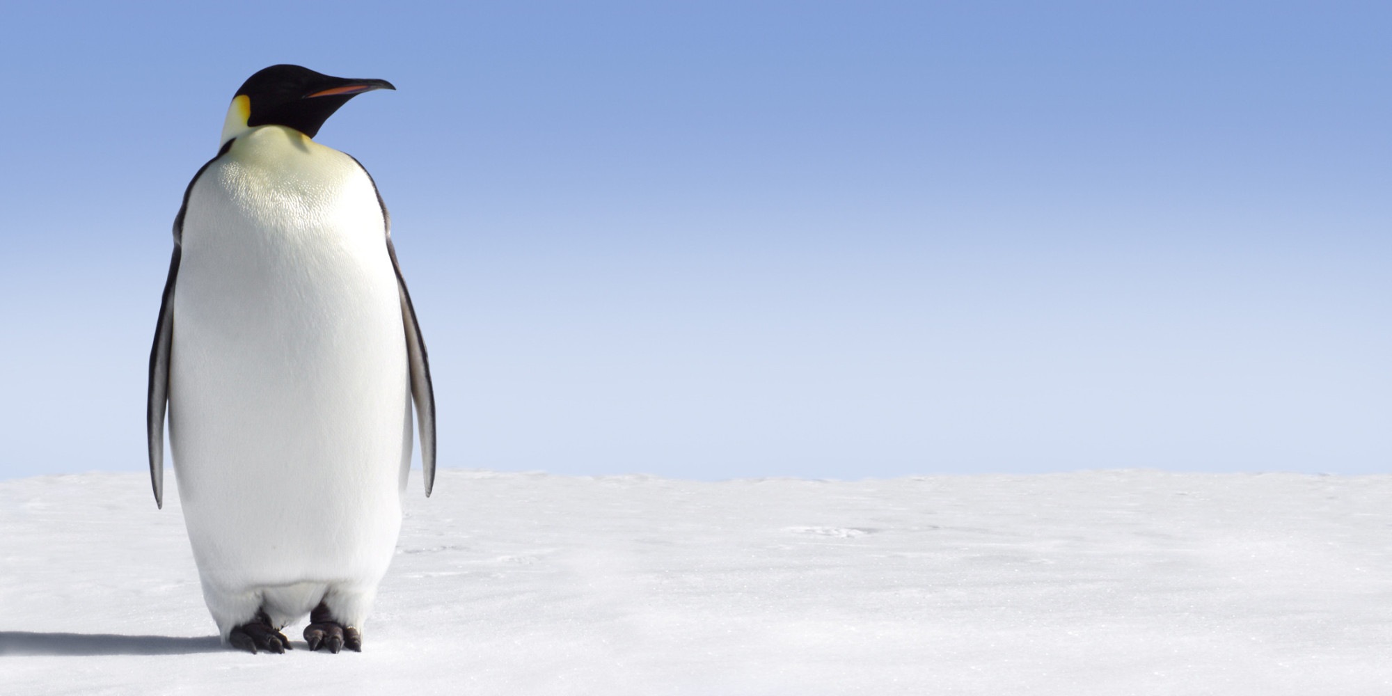 Saving Emperor Penguins Requires Swift Climate Action   HuffPost