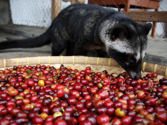 Civet Droppings Coffee Kopi Luwak