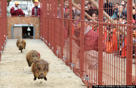 boar cubs race