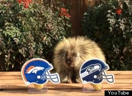 WATCH: This Porcupine Predicts The Super Bowl Winner