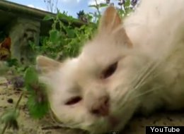 WATCH: What Does Catnip Actually Do To Cats?
