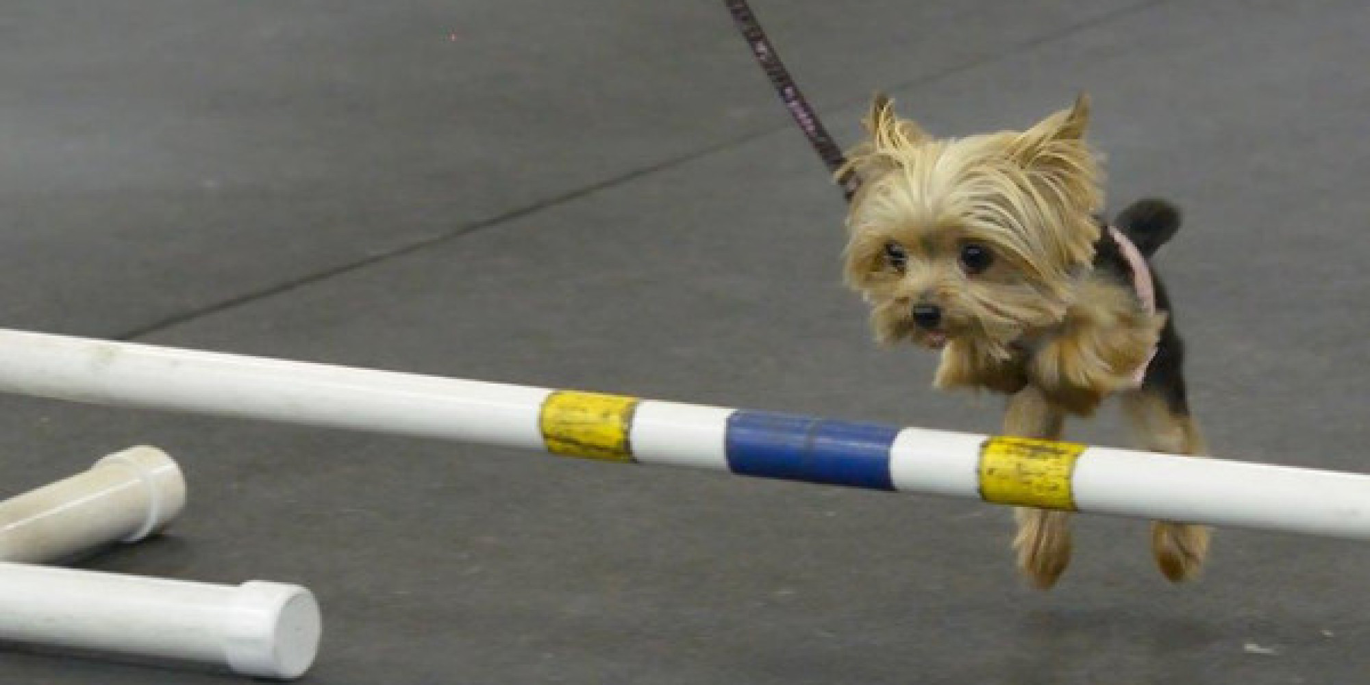 Lucy The World S Smallest Working Dog Is A Rescue