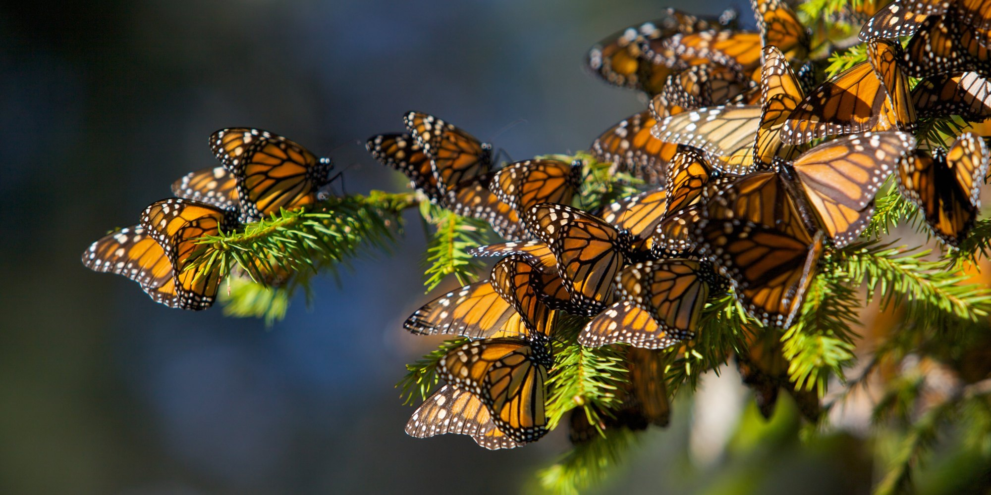 Monarch butterfly migration tree - photo#27