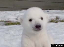 WATCH: Baby Polar Bear Introduced To Snow For The First Time