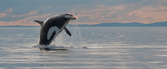 VANCOUVER ISLAND KILLER WHALE