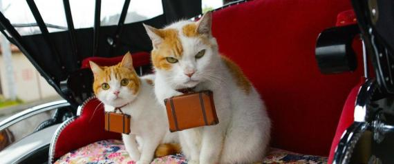 NYALAN DESHI JAPAN CAT