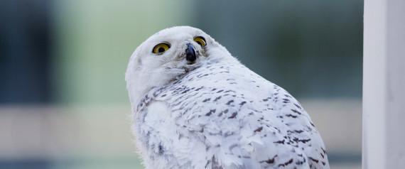 DC SNOWY OWL