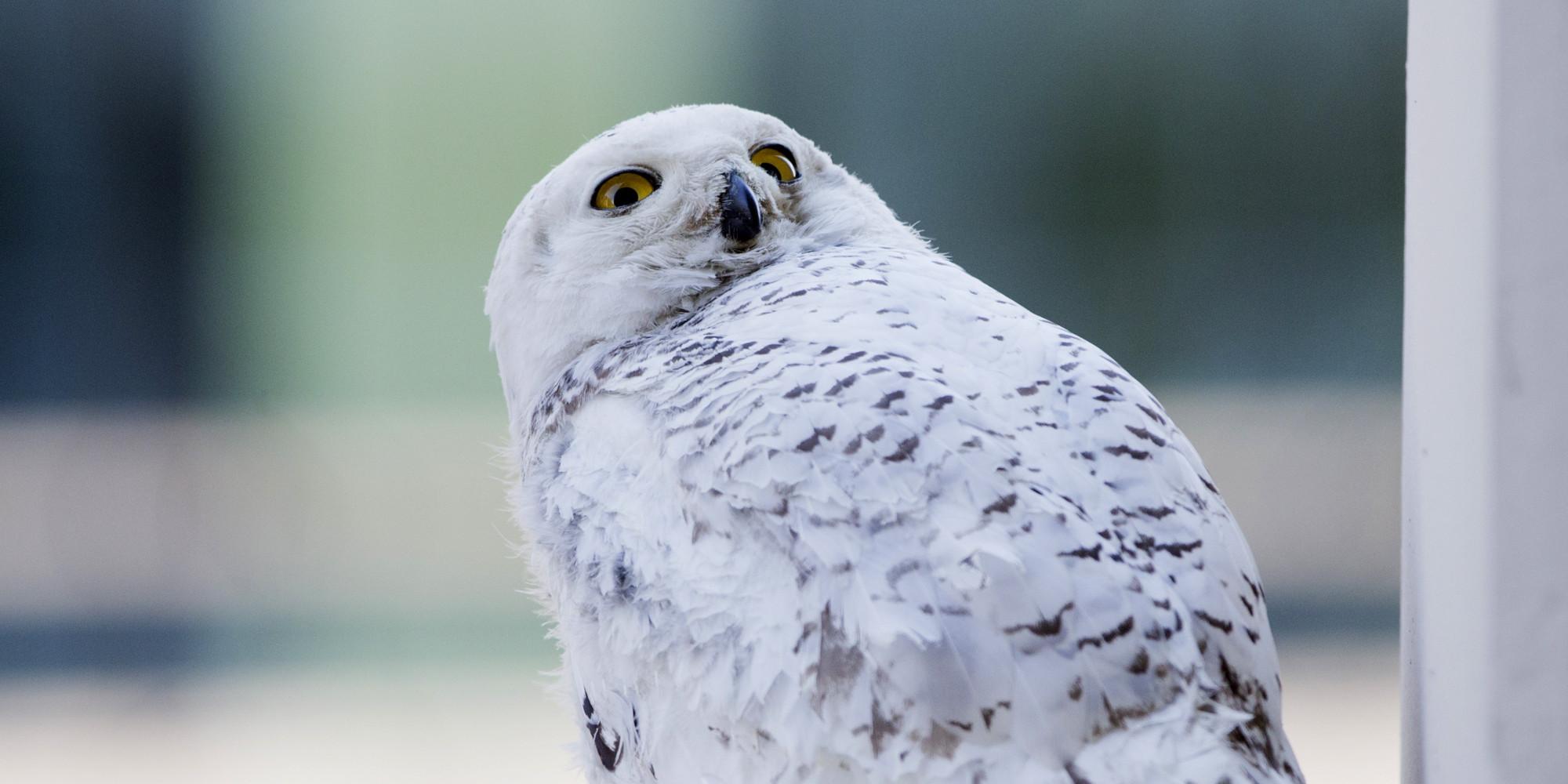 N Owl Next Bus Snowy Owl Is Hit By Bus In