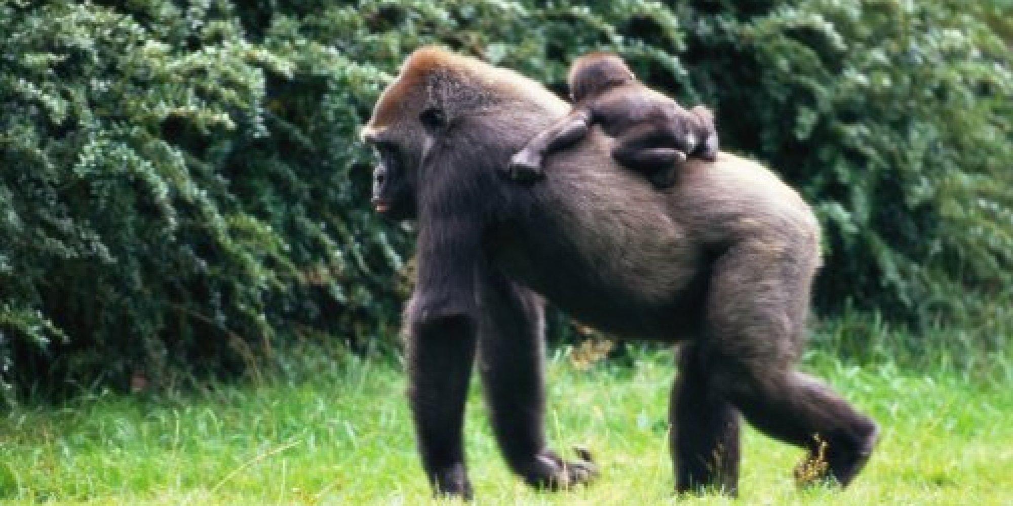 Смотреть пенис гориллы 22 фотография