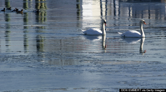 mute swans new york