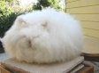 Underneath This Giant Ball Of Cotton Is A Rabbit (PHOTOS)