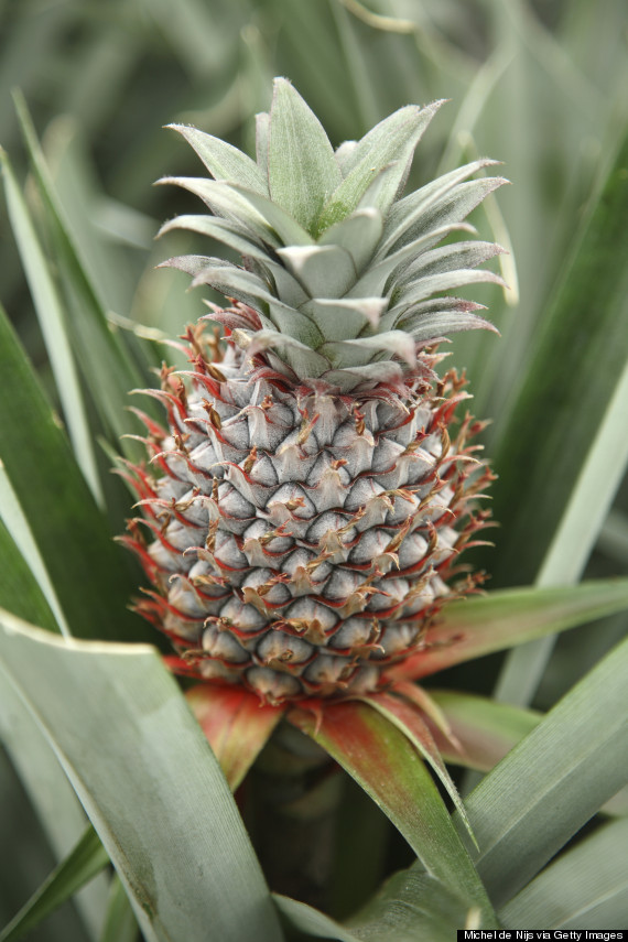 17 mind boggling facts about pineapples huffpost for How do i plant a pineapple top