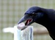 This Crow Is The Smartest Bird You've Ever Seen