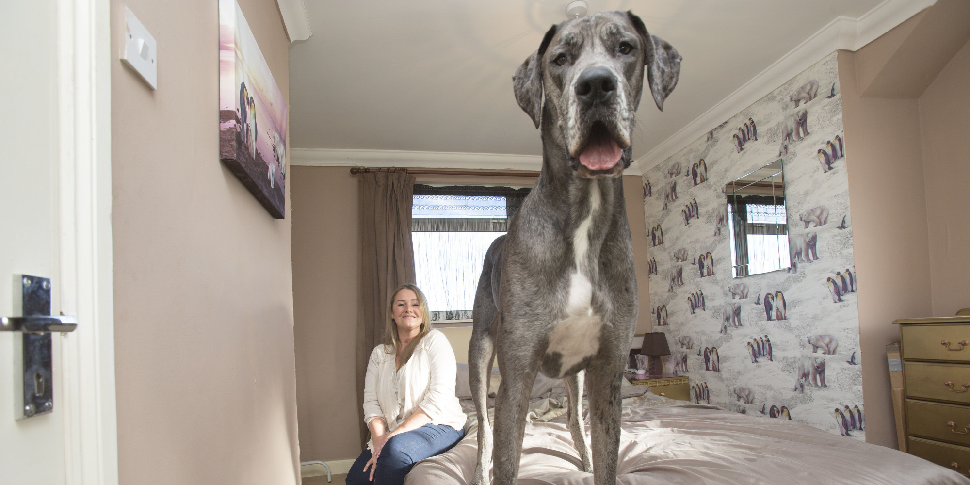 I A Great Dane Meet Britain's Biggest...