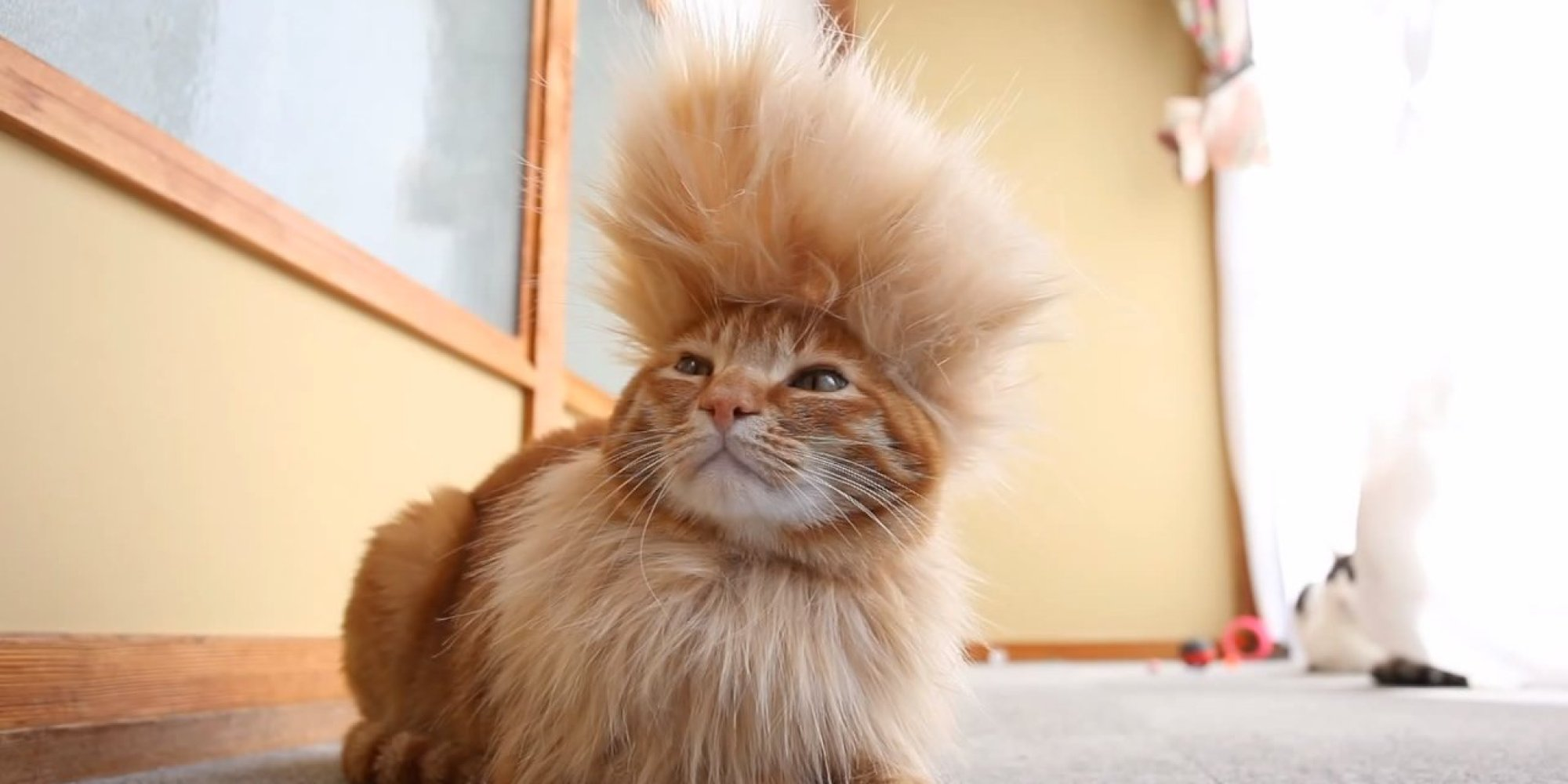 Never Fear Mohawk Cat Is Here Video