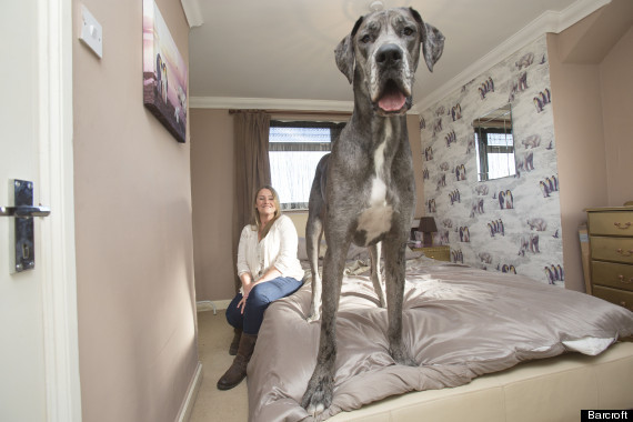 hound tall normal