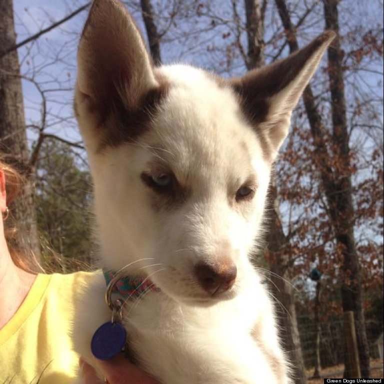 Siberian Husky Quebec Animal Rescue Views Bl...