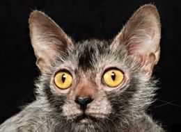 Lykoi 'Werewolf' Kittens Are Now A Thing
