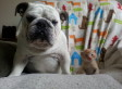 This Bulldog Says You Best Not Be Messing With His Rescue Kitten Family