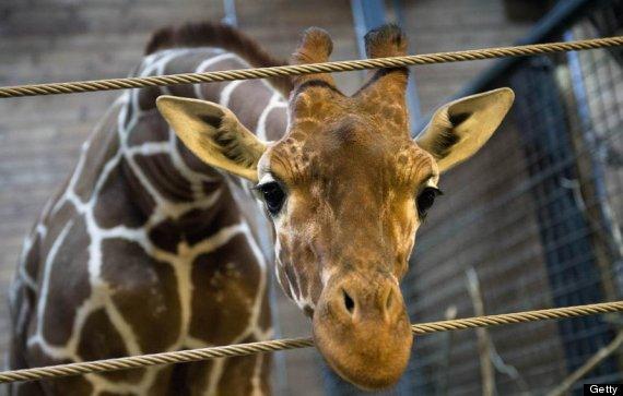 marius giraffe