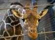 Danish Zoo May Kill ANOTHER Healthy Giraffe