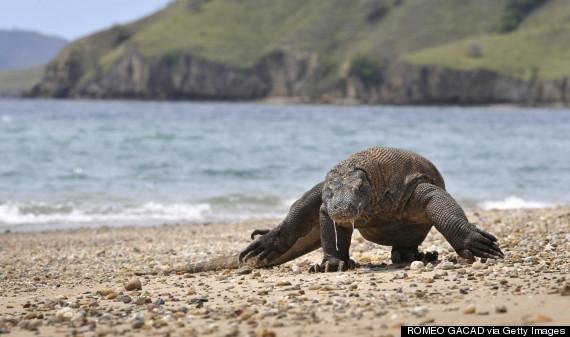 Komodo Dragon Island Tour