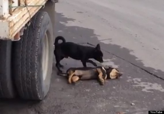 dog tries to revive dead companion