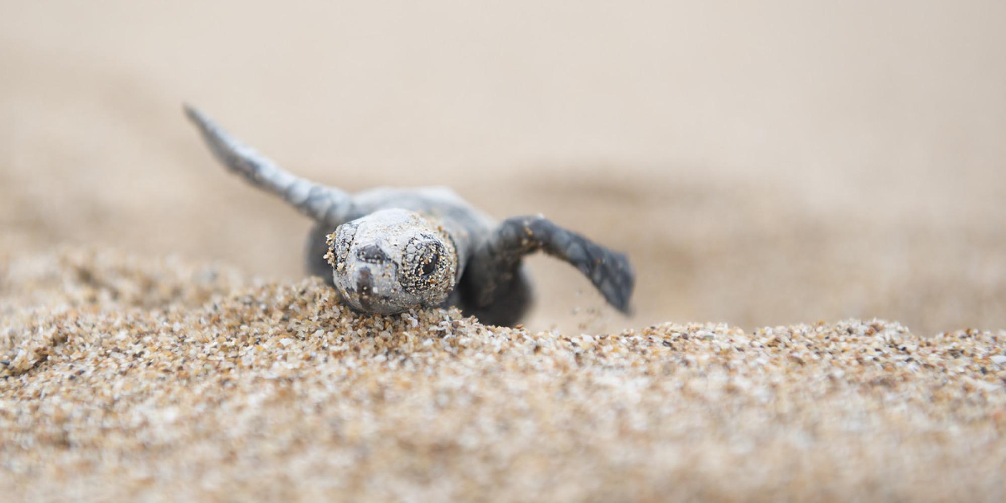 Cute Baby Sea Turtles - YouTube  |Baby Sea Turtles