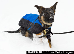 PHOTOS: German Shepherd Puppy Plays In The Snow