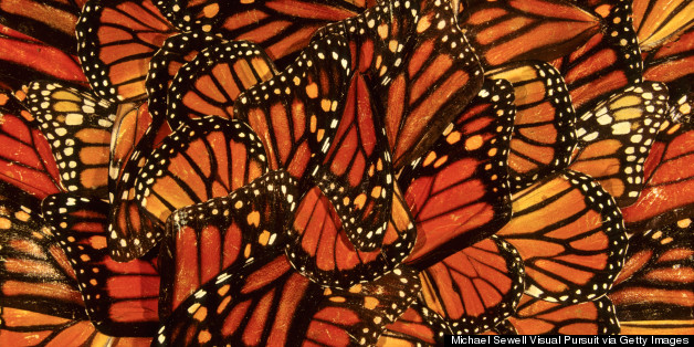 viceroy butterfly drawing